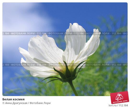 Белая космея, фото № 112184, снято 27 августа 2007 г. (c) Анна Драгунская / Фотобанк Лори