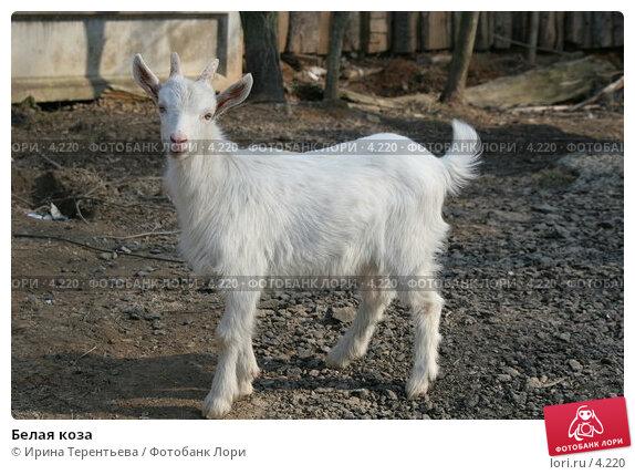 Белая коза, эксклюзивное фото № 4220, снято 1 мая 2006 г. (c) Ирина Терентьева / Фотобанк Лори