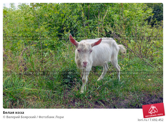 Купить «Белая коза», фото № 7692452, снято 7 сентября 2014 г. (c) Валерий Боярский / Фотобанк Лори