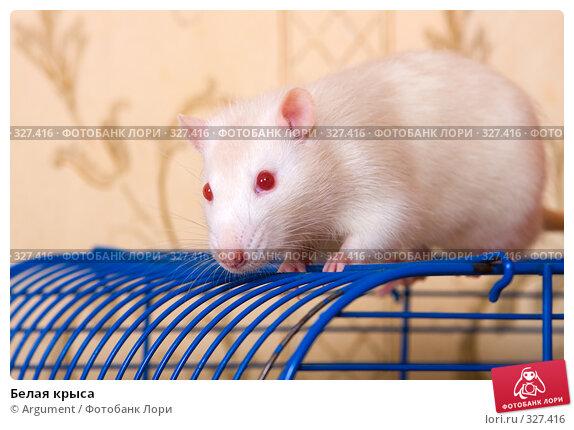 Белая крыса, фото № 327416, снято 10 июня 2008 г. (c) Argument / Фотобанк Лори
