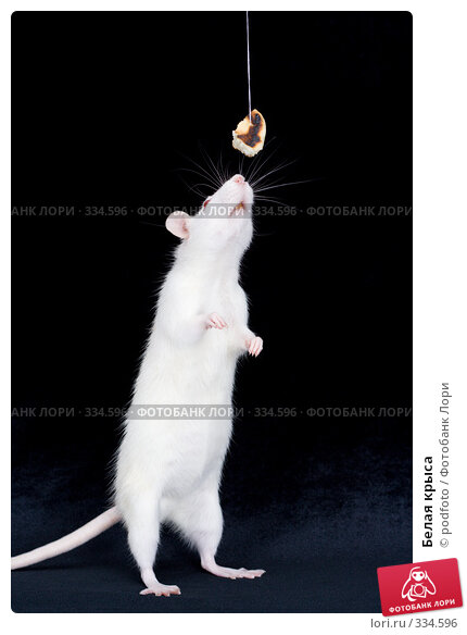Белая крыса, фото № 334596, снято 20 октября 2007 г. (c) podfoto / Фотобанк Лори