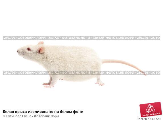 Белая крыса изолировано на белом фоне, фото № 230720, снято 24 марта 2008 г. (c) Бутинова Елена / Фотобанк Лори