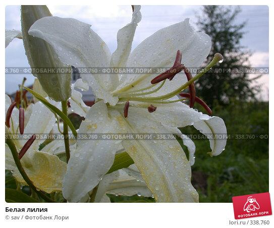 Белая лилия, фото № 338760, снято 19 августа 2006 г. (c) sav / Фотобанк Лори