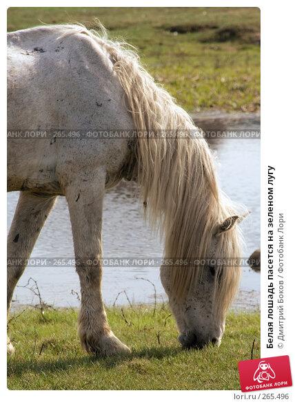 Белая лошадь пасется на зеленом лугу, фото № 265496, снято 20 апреля 2008 г. (c) Дмитрий Боков / Фотобанк Лори