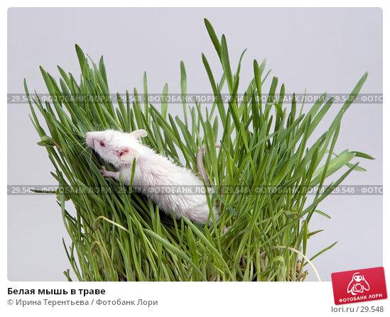 Белая мышь в траве, эксклюзивное фото № 29548, снято 18 марта 2007 г. (c) Ирина Терентьева / Фотобанк Лори