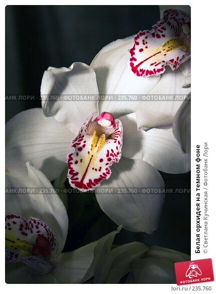 Белая орхидея на темном фоне, фото № 235760, снято 22 января 2017 г. (c) Светлана Кучинская / Фотобанк Лори