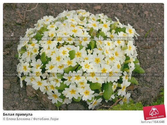 Купить «Белая примула», фото № 164648, снято 27 апреля 2007 г. (c) Елена Блохина / Фотобанк Лори