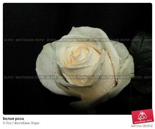 Купить «Белая роза», фото № 20912, снято 3 марта 2007 г. (c) Fro / Фотобанк Лори