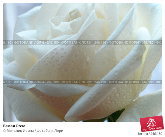 Белая Роза, фото № 246180, снято 9 марта 2006 г. (c) Мельник Ирина / Фотобанк Лори