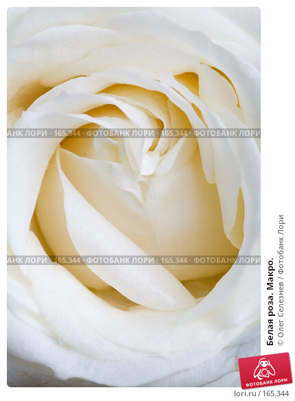 Белая роза. Макро., фото № 165344, снято 2 января 2008 г. (c) Олег Селезнев / Фотобанк Лори