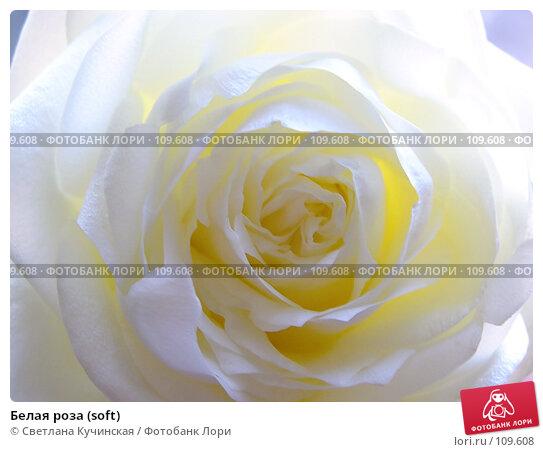 Белая роза (soft), фото № 109608, снято 17 января 2017 г. (c) Светлана Кучинская / Фотобанк Лори