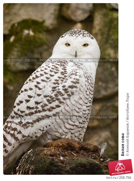 Купить «Белая сова», фото № 258756, снято 28 февраля 2008 г. (c) Алексей Баранов / Фотобанк Лори