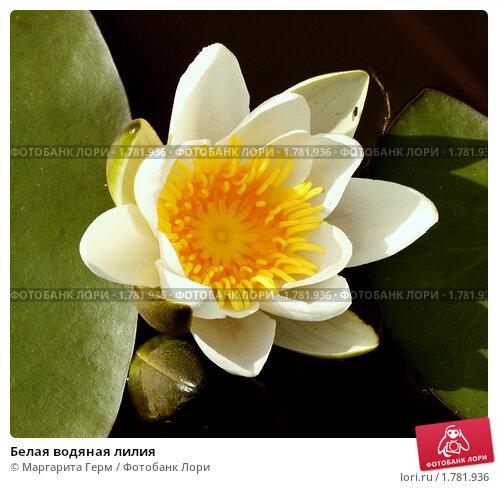 Купить «Белая водяная лилия», фото № 1781936, снято 18 июня 2010 г. (c) Маргарита Герм / Фотобанк Лори