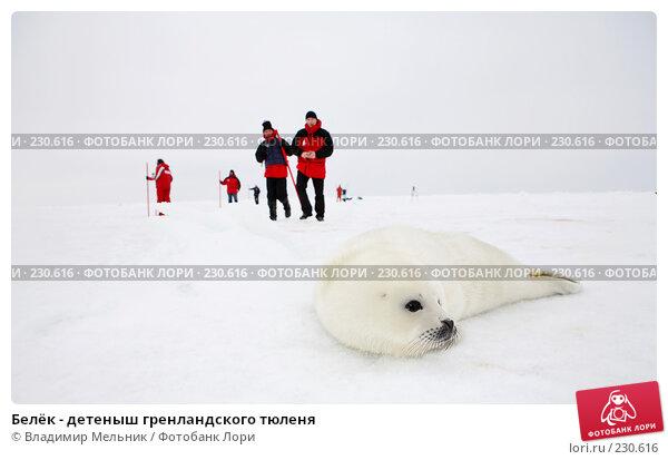Белёк - детеныш гренландского тюленя, фото № 230616, снято 11 марта 2008 г. (c) Владимир Мельник / Фотобанк Лори