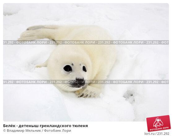 Белёк - детеныш гренландского тюленя, фото № 231292, снято 11 марта 2008 г. (c) Владимир Мельник / Фотобанк Лори