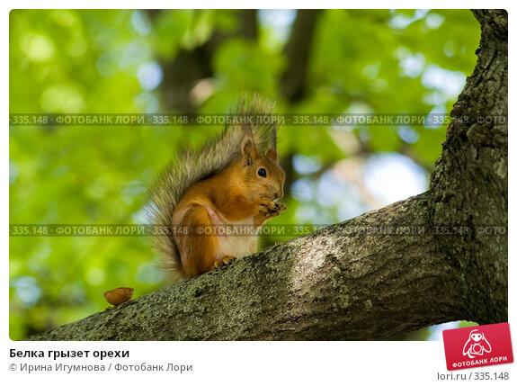 Белка грызет орехи, фото № 335148, снято 8 июня 2008 г. (c) Ирина Игумнова / Фотобанк Лори
