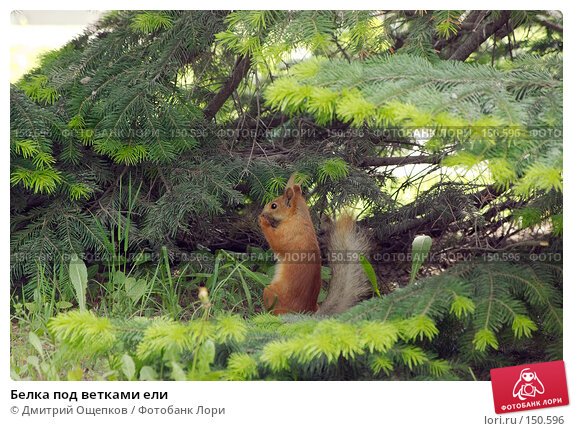 Белка под ветками ели, фото № 150596, снято 28 мая 2007 г. (c) Дмитрий Ощепков / Фотобанк Лори
