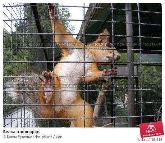 Белка в зоопарке, фото № 103316, снято 25 июля 2017 г. (c) Елена Руденко / Фотобанк Лори