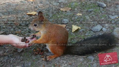 Белку кормят орехами. Стоковое видео, видеограф Михаил Коханчиков / Фотобанк Лори