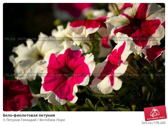 Бело-фиолетовая петуния, фото № 176220, снято 24 июля 2007 г. (c) Петухов Геннадий / Фотобанк Лори