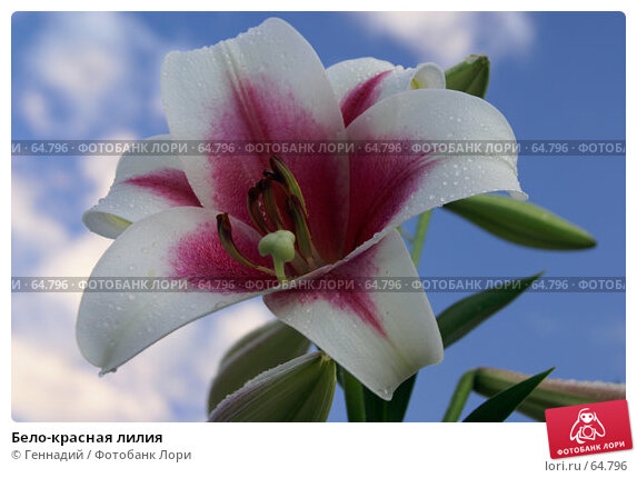 Бело-красная лилия, фото № 64796, снято 21 июля 2007 г. (c) Геннадий / Фотобанк Лори