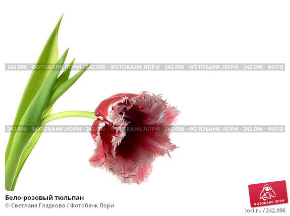 Купить «Бело-розовый тюльпан», фото № 242096, снято 24 ноября 2017 г. (c) Cветлана Гладкова / Фотобанк Лори