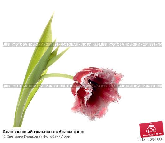 Купить «Бело-розовый тюльпан на белом фоне», фото № 234888, снято 25 апреля 2018 г. (c) Cветлана Гладкова / Фотобанк Лори