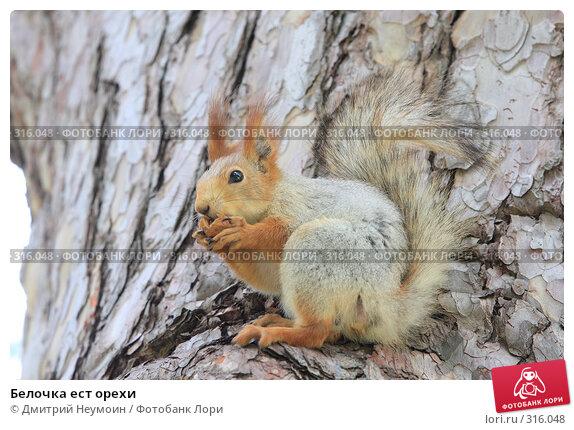 Белочка ест орехи, эксклюзивное фото № 316048, снято 29 апреля 2008 г. (c) Дмитрий Неумоин / Фотобанк Лори