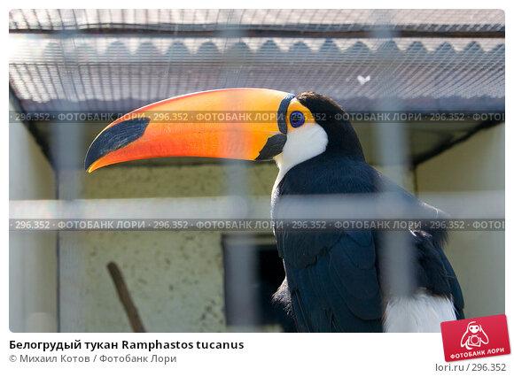 Купить «Белогрудый тукан Ramphastos tucanus», фото № 296352, снято 13 мая 2008 г. (c) Михаил Котов / Фотобанк Лори