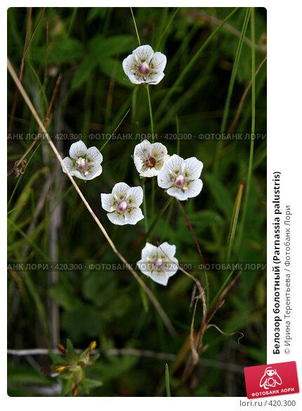 Купить «Белозор болотный (Parnassia palustris)», эксклюзивное фото № 420300, снято 2 августа 2008 г. (c) Ирина Терентьева / Фотобанк Лори