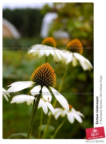 Белые эхинацеи, фото № 82812, снято 29 августа 2007 г. (c) Валерия Потапова / Фотобанк Лори