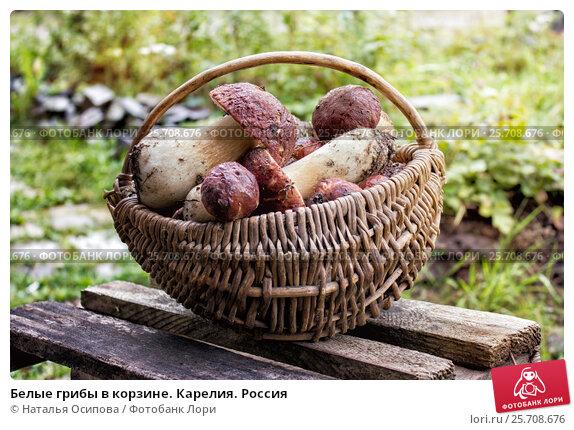 Купить «Белые грибы в корзине. Карелия. Россия», фото № 25708676, снято 28 августа 2014 г. (c) Наталья Осипова / Фотобанк Лори