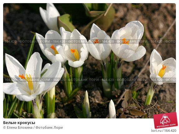 Белые крокусы, фото № 164420, снято 30 марта 2007 г. (c) Елена Блохина / Фотобанк Лори