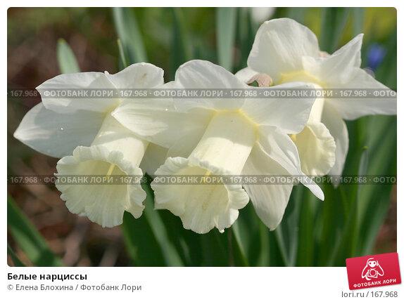 Белые нарциссы, фото № 167968, снято 2 мая 2007 г. (c) Елена Блохина / Фотобанк Лори