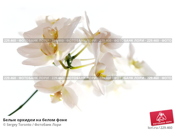 Белые орхидеи на белом фоне, фото № 229460, снято 22 марта 2008 г. (c) Sergey Toronto / Фотобанк Лори