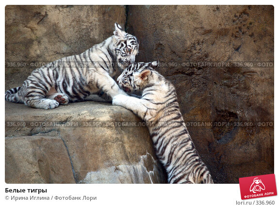 Белые тигры, фото № 336960, снято 21 июня 2008 г. (c) Ирина Иглина / Фотобанк Лори
