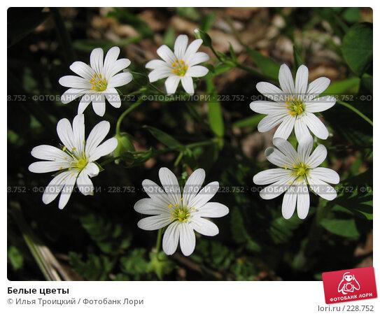 Белые цветы, фото № 228752, снято 14 мая 2007 г. (c) Илья Троицкий / Фотобанк Лори