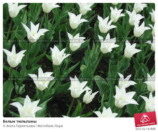 Белые тюльпаны, фото № 4444, снято 21 мая 2006 г. (c) Агата Терентьева / Фотобанк Лори