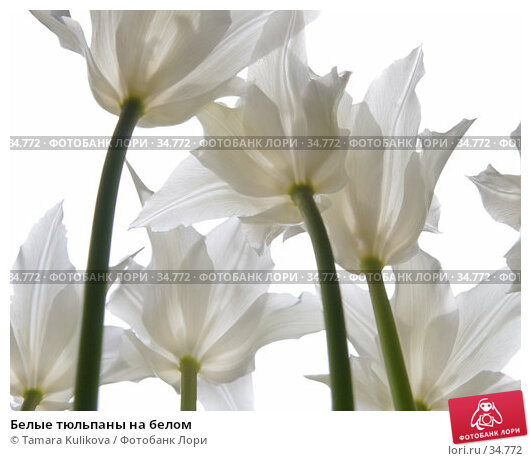 Белые тюльпаны на белом, фото № 34772, снято 22 апреля 2007 г. (c) Tamara Kulikova / Фотобанк Лори