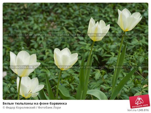 Белые тюльпаны на фоне барвинка, фото № 249816, снято 12 апреля 2008 г. (c) Федор Королевский / Фотобанк Лори
