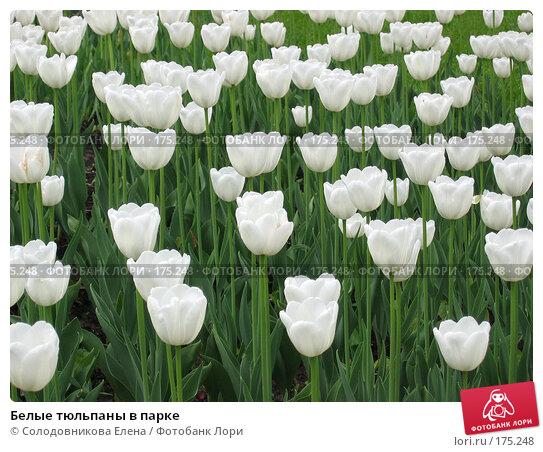 Белые тюльпаны в парке, фото № 175248, снято 21 мая 2005 г. (c) Солодовникова Елена / Фотобанк Лори