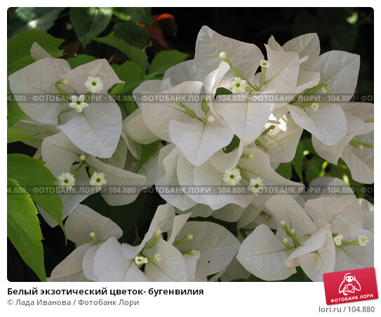Белый экзотический цветок- бугенвилия, фото № 104880, снято 27 марта 2017 г. (c) Лада Иванова / Фотобанк Лори