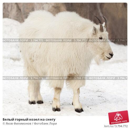 Купить «Белый горный козел на снегу», фото № 3794772, снято 3 марта 2012 г. (c) Яков Филимонов / Фотобанк Лори