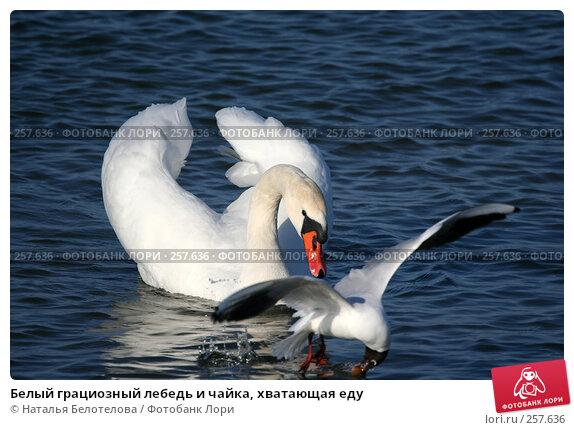 Купить «Белый грациозный лебедь и чайка, хватающая еду», фото № 257636, снято 29 марта 2008 г. (c) Наталья Белотелова / Фотобанк Лори