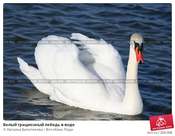 Белый грациозный лебедь в воде, фото № 264908, снято 29 марта 2008 г. (c) Наталья Белотелова / Фотобанк Лори