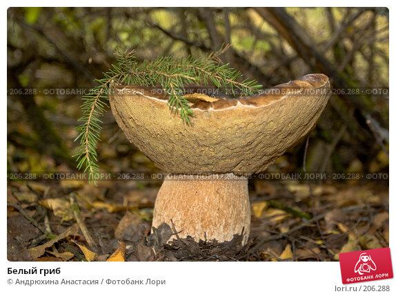 Белый гриб, фото № 206288, снято 10 сентября 2007 г. (c) Андрюхина Анастасия / Фотобанк Лори