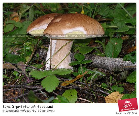 Белый гриб (белый, боровик), фото № 290964, снято 20 августа 2006 г. (c) Дмитрий Кобзев / Фотобанк Лори
