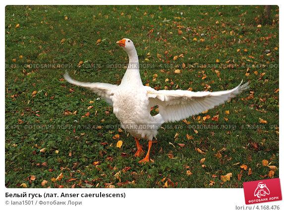 Купить «Белый гусь (лат. Anser caerulescens)», эксклюзивное фото № 4168476, снято 1 сентября 2009 г. (c) lana1501 / Фотобанк Лори