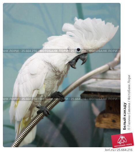 Купить «Белый какаду», фото № 25664216, снято 28 октября 2015 г. (c) Галина Савина / Фотобанк Лори