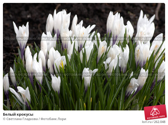 Белый крокусы, фото № 262048, снято 22 апреля 2006 г. (c) Cветлана Гладкова / Фотобанк Лори
